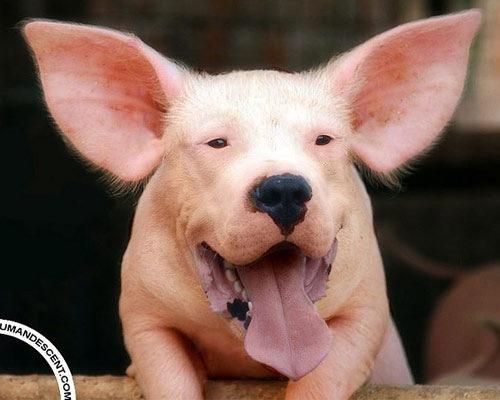 Cat Rat Dog Pig