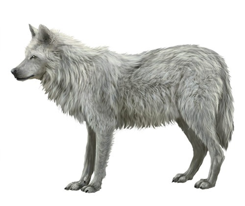 wolf-illustration